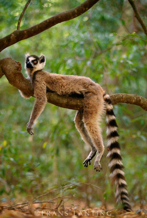 lemurien                                                                                                                                                                                 Plus