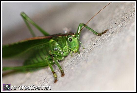 Winter Macro Photography Ideas | Eng.) En stor gresshoppe | A big grasshopper