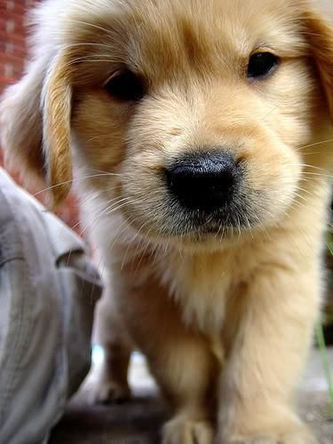 Mean-looking cutie golden...this was our Molly at that age. Good thing she calmed down.