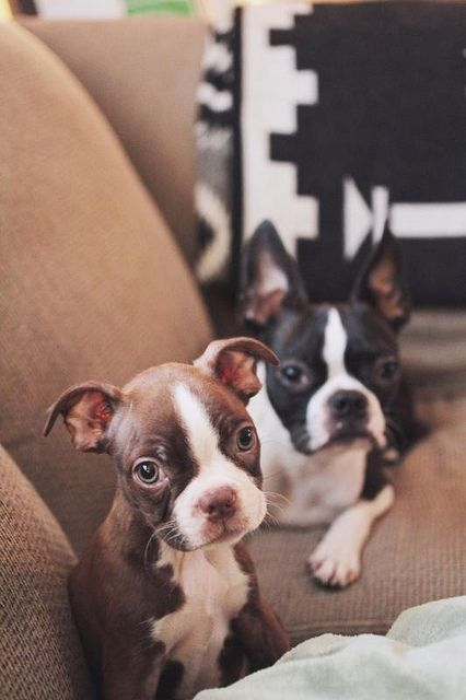 Boston Terrier ... I think the Black  White, wants to come home with me !