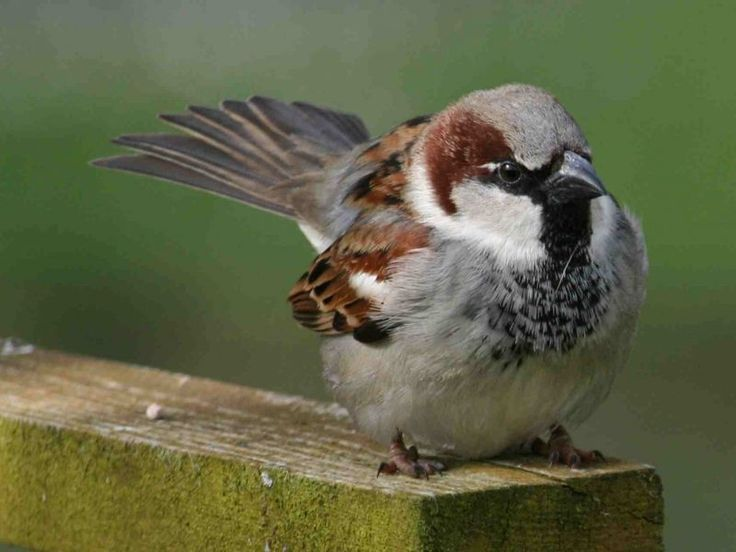 Sparrow Wallpapers | Free Download Colorful Birds HD Desktop Images