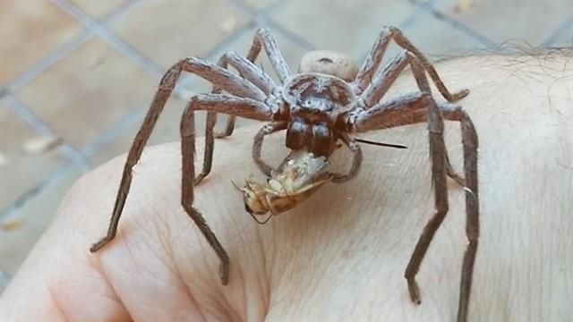 Up close video footage taken in Australia shows how this enormous spider immobilizes and consumes its prey.