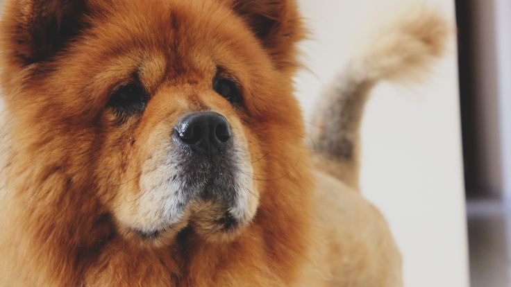 Chow Chow Dog | http://bestwallpaperhd.com/chow-chow-dog.html