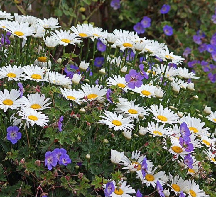 20 best garden geranium rozanne images on pinterest geranium rozanne garden plants and patio - Care geraniums flourishing balcony porch ...