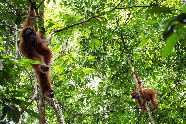 Orangutans hanging in the rainforests of Bukit Lawang. The sins of Palm Oil production...