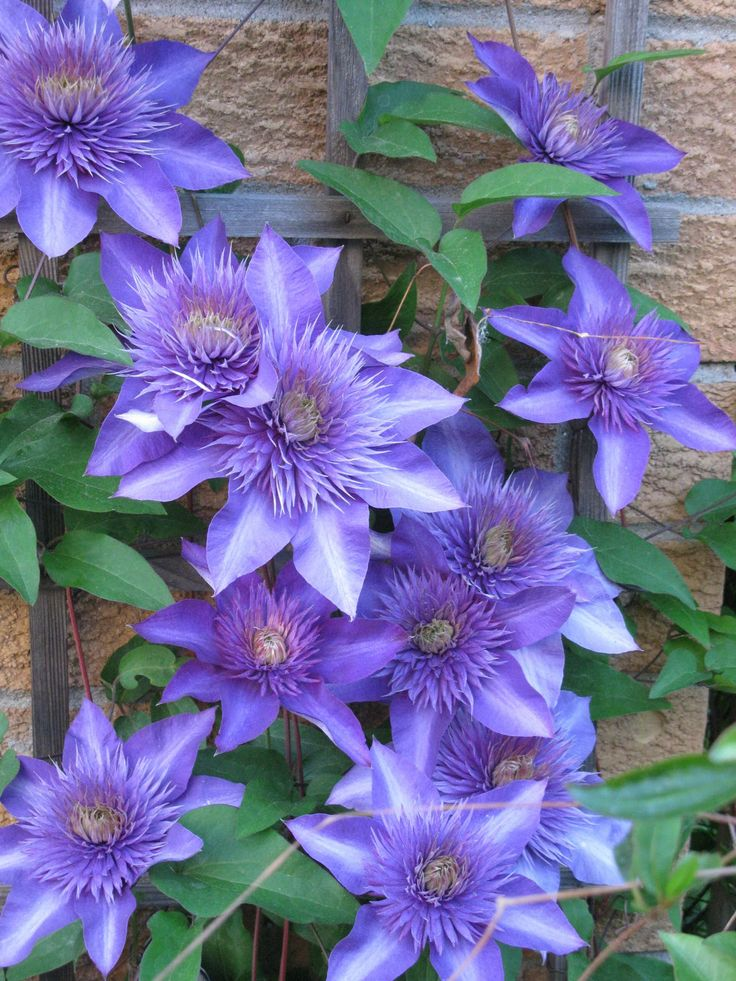 62 Best Gardening Clematis Images On Pinterest