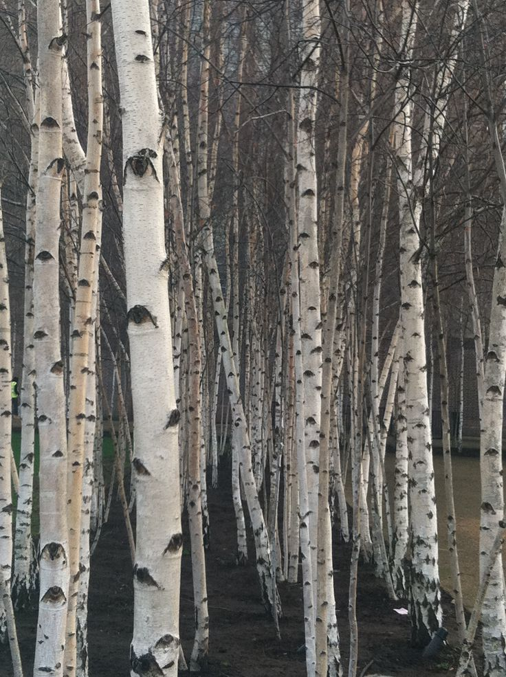 1000 ideas about birch tree mural on pinterest tree for Birch tree mural wallpaper