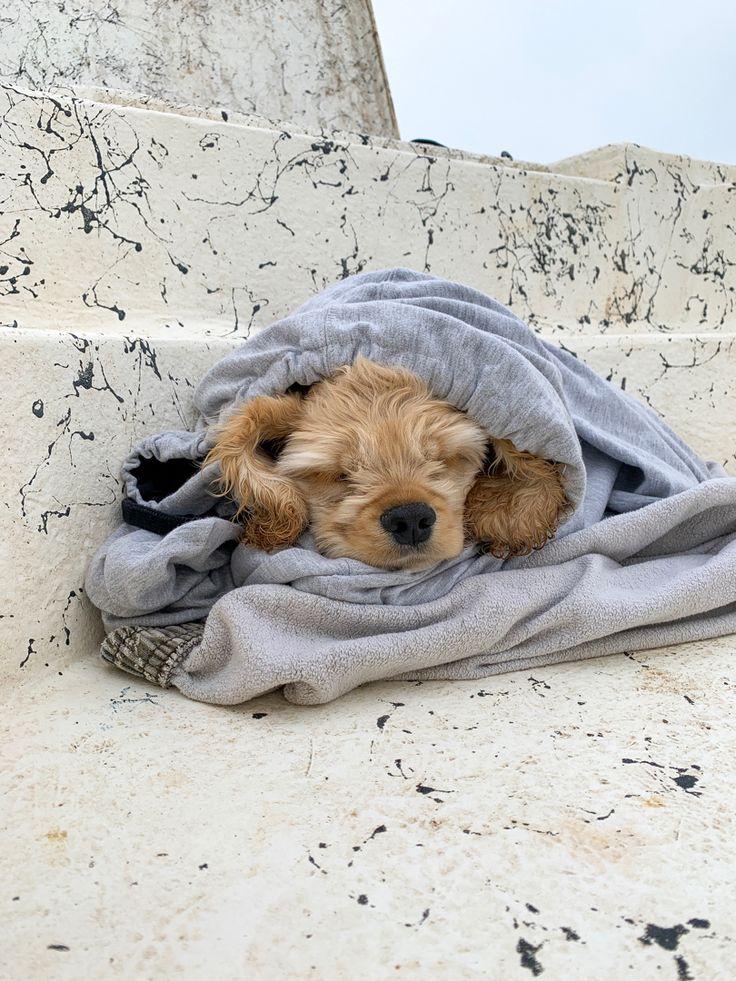 Cocker spaniel puppy taking a nap cocker spaniel