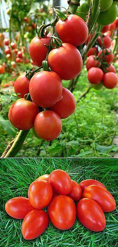 Как избавиться от фитофторы томатов - полезные рецепты | Дачный участок
