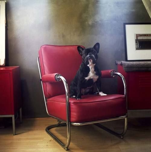 dog + red chair