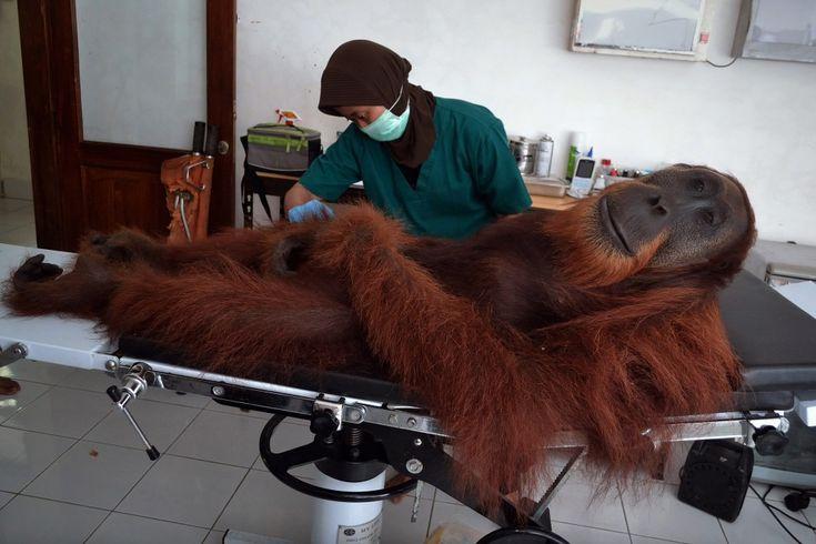 Un orango di 14 anni è stato colpito con un proiettile dai bracconieri nella foresta dell'isola di Sumatra, in Indonesia. Lo hanno salvato i medici del centro Sumatran Orangutan Conservation Programme. In questa immagine straordinaria l'orangutan sembra perfettamente a proprio agio sul lettin