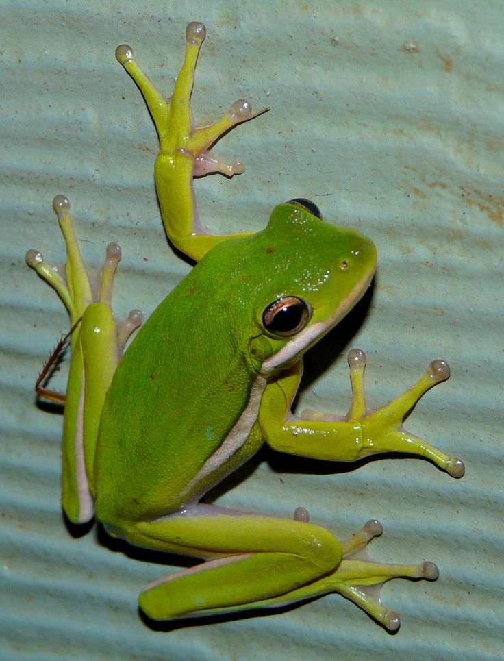 Tree Frog by duggiehoo.deviantart.com on @deviantART................d