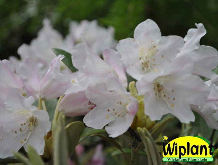 Rhododendron yakushimanum-gruppen 'Kullervo', rhododendron. Höjd: 0,9-1,2 m. Zon IV.