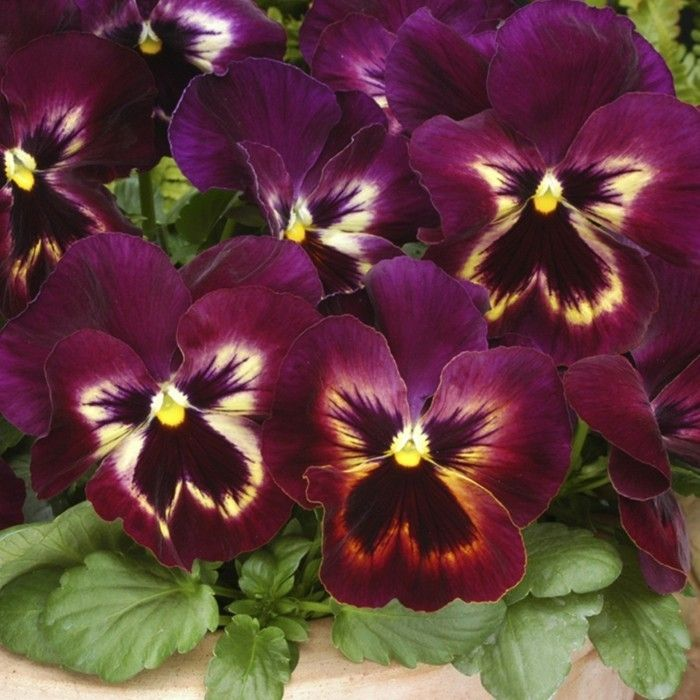 Pansy The Hot Flower Tip To Bring The Summer Home Bring Flower Pansy Summer Large Flower Pots Gardening Tips Garden Design