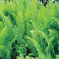 Ostrich Plum Fern - for front garden: Backyard Plants, Fern Foliage, Flower Gardening, Ferns, Ditch Maybe Transplant, Garden Plants, Fantasy Garden