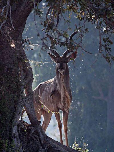 Kudu - Giovanni-Mari
