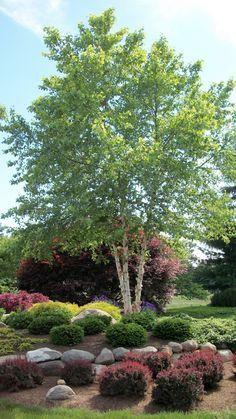 Betula nigra 'Heritage' (River Birch) … gorgeous peeling bark, pest resistance and a graceful shape. Brzoza czarna 'Heritage'.