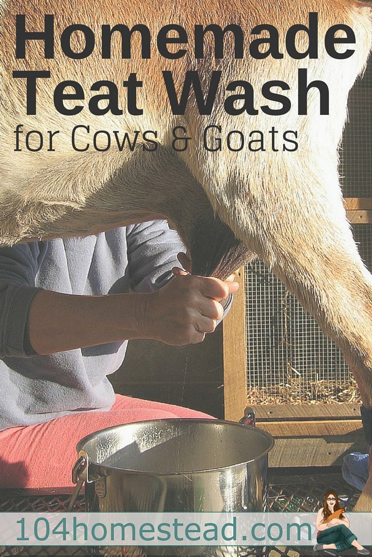 Try this homemade udder and teat wash for goats and cows. It contains no harsh ingredients like bleach, but still does the tough job of commercial cleaners.