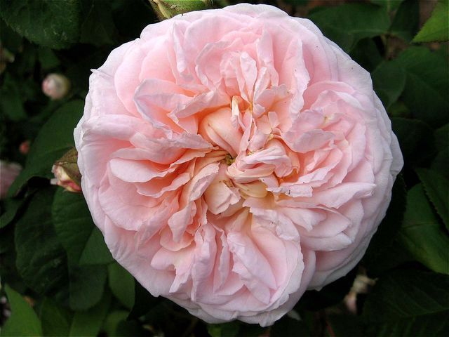 Royal Blush - SechzehnEichen RosenSchätze