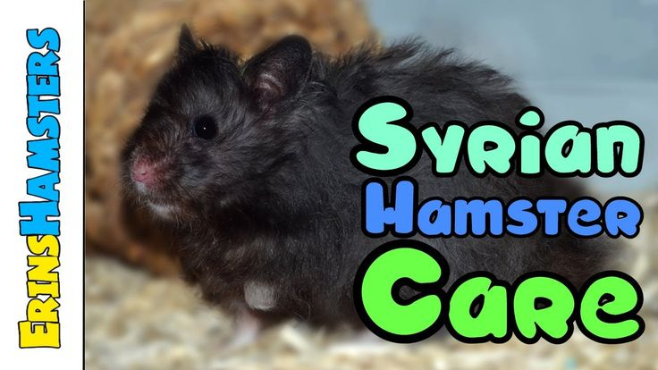 SYRIAN HAMSTER CARE   Essentials