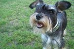 A schnauzer is a German dog breed with a bearded snout. This breed got its name from the German word schnauze, which means muzzle. A schnauzer can be easily distinguished from other breeds because of its typical beard and long fluffy eyebrows. However, oxidation caused by salivation, artificial coloring in dog food, diet and tear staining can leave...