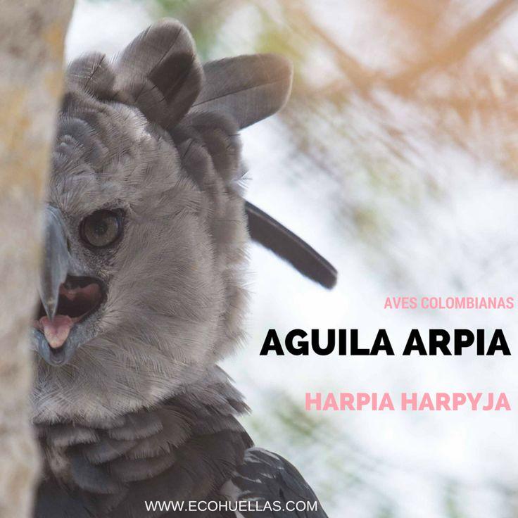 Aguila Arpia.   David Osorio L & Rafael Rincón  Aviario Nacional De Colombia #EcoHuellas #EcoCielo #AvesColombianas