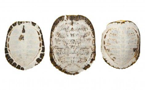 Sun-Bleached Turtle Shells | Jayson Home: Decor, Turtles Shells, Shells Mirror, Sun Bleach Turtles, Sunbleach Turtles, Turtle Shells, Tortoi Shells, Homes, Tortoises Shells