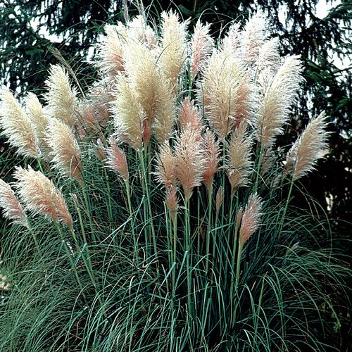 Cortaderia selloana herbe de la pampa touffes vigoureuses de feuilles coriaces troites - Fleur de pampa ...