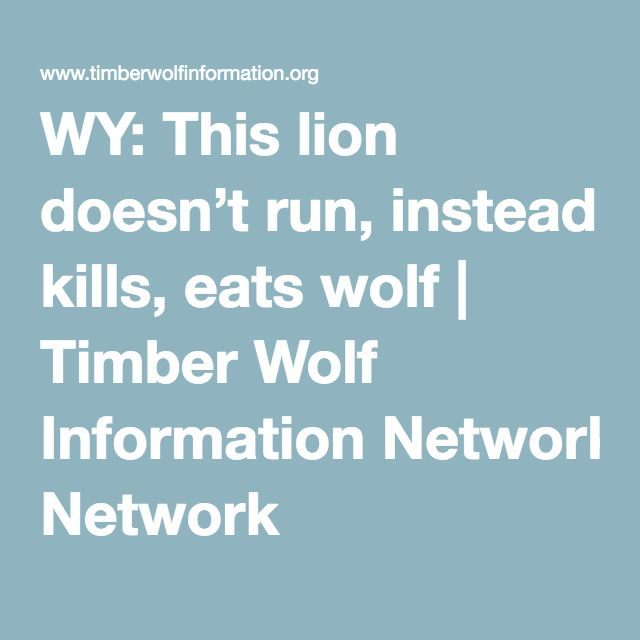 WY: This lion doesn't run, instead kills, eats wolf | Timber Wolf Information Network
