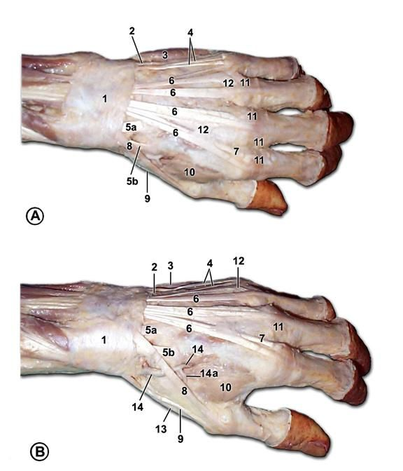 Top of hand anatomy