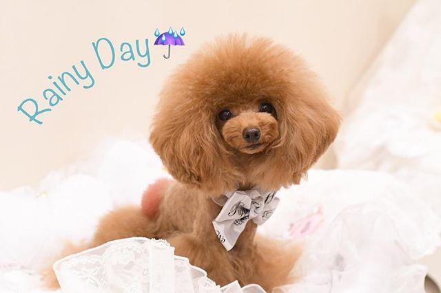 * 今日は雨降り〜😭☔️ * 朝からお料理教室行ってから、洋裁教室2コマday✨✨ 詰め込みdayだけど😅ベルメイのお衣装完成するかな?💕 * * #ふわもこ部#愛犬#プードル#ティーカッププードル#可愛い#ベルちゃん#犬バカ#ワンコなしでは生きていけません会#親バカ#ティンカーベル#シェリーメイ#ベル子 #メイちゃん#ベルメイ#toypoodle#todayswanko#teacuppoodle#Tinkerbell#ShellieMay#bellmay #ファインダー越しの私の世界 #写真好きな人と繋がりたい #カメラ好きな人と繋がりたい #カメラ女子 #nikond500