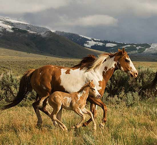 Wild Paint Mare and Foal.
