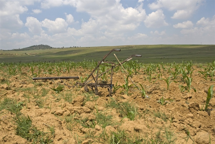 High rates of stock-theft in Lesotho have robbed many people - too poor to rent tractors - of their only way to plough their fields, one of the reasons why more and more land is being left fallow