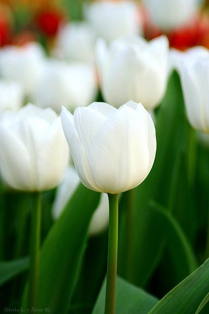 My absolute favorite ever! I had these at my wedding in 1995. Would love to have white and purple tulips in my yard. MTH