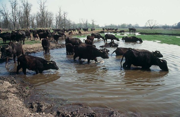Wasser Büffel in Ungarn Balaton-Félvidéki Nemzeti Park