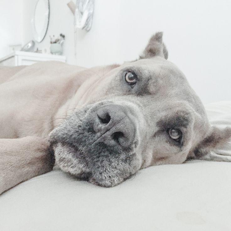 Cane Corso - Formentino - Italian Mastiff - Dogs - Fira