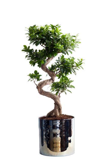 best 25 ficus ginseng bonsai ideas on pinterest bonsai. Black Bedroom Furniture Sets. Home Design Ideas