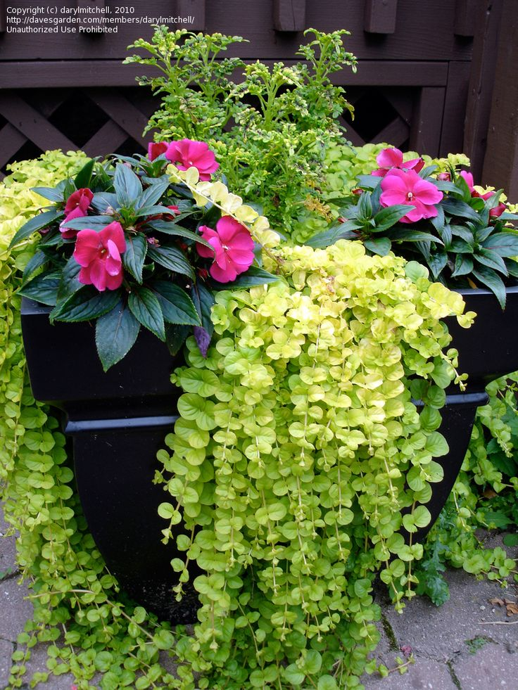 Creeping jenny shade planter love gardening for Gardening is my passion