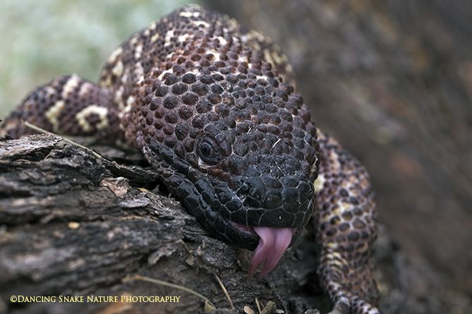1000+ images about Lizards on Pinterest | Common lizard ...