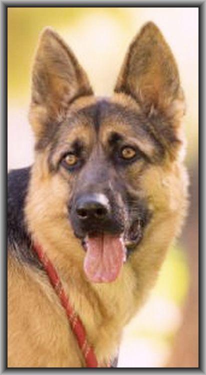 kommissar REX  german shepherd dog #www.my.tvspielfilm.de