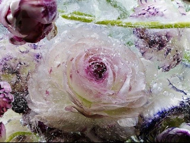 Photos of Flowers Frozen in Ice Blocks by Kenji Shibata