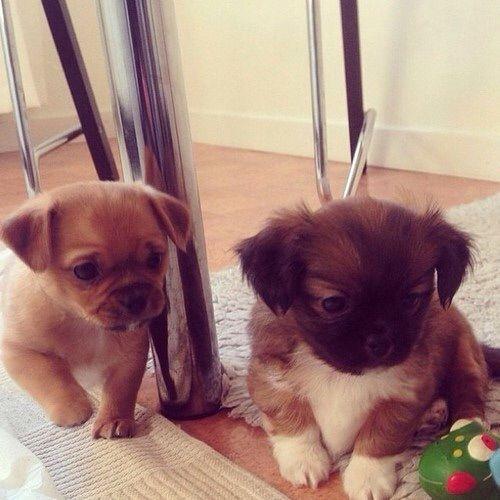Good Shih Tzu Anime Adorable Dog - 608ac98c61e9bd90361eaba9405d0975--very-cute-puppies-adorable-puppies  Pic_381069  .jpg