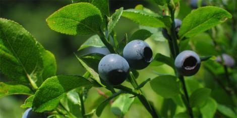 Aufgrund der in der Heidelbeere enthaltenen Gerbstoffe und Pektine lindert sie Durchfallerkrankungen