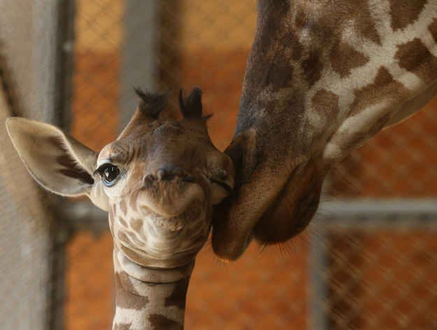 16 Baby Giraffes Who Don't Give A Damn