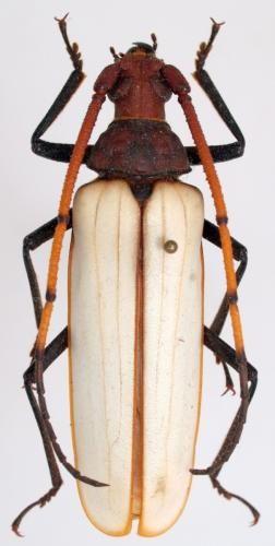 Réf. 63656 : Aegosoma osseum http://galerie-insecte.org/galerie/aegosoma_osseum.html