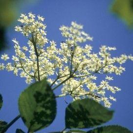 Vlier (Sambucus nigra): bloemen smaken zoet, niet wassen. Vlierbloesem plukken: tips.