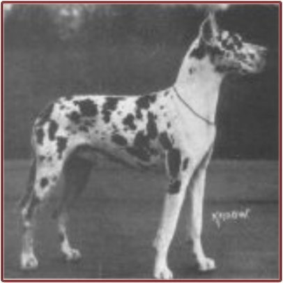 CH Ador v Amalienborg. Harl, blue carrier. Born 1923. A very influential harl who was bred extensively. Ador was a progenitor of the great Jagla Moguntia: Ch Ador, Bred Extensively, Jagla Moguntia, Influential Harl