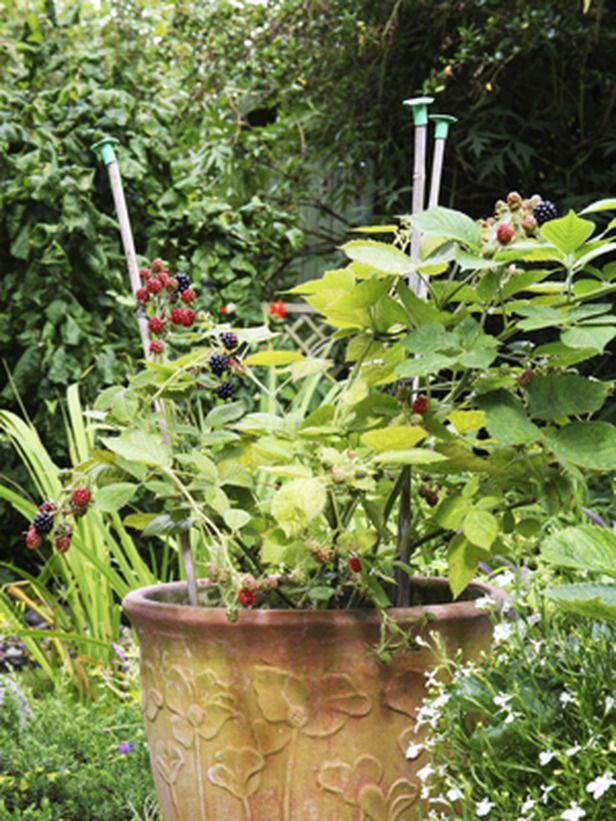 How to Grow Blackberry Plants in Pots. Blackberries are usually big plants and unsuitable for pots, but the thornless varieties are less vigorous and can be successfully grown in a large container.