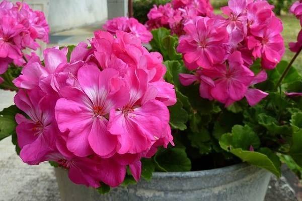 Egy keverék, ami tavasszal kötelező a virágaidnak: visszahozza őket az életbe!