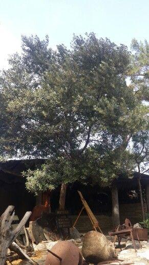 Güzel bir gün diliyoruz.... Have a nice day...  Zeytin (Olea europaea), zeytingiller (Oleaceae) familyasından meyvesi yenen Akdeniz iklimine özgü bir ağaç türü.